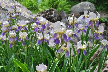 Irises-2013_DO1