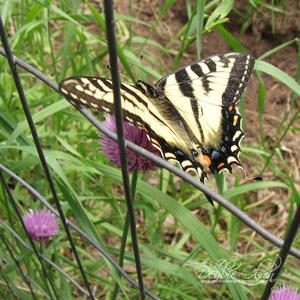 Butterfly6_19_08_do